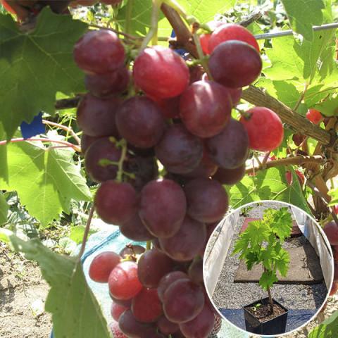 Виноград Изумление (контейнер 2 л)