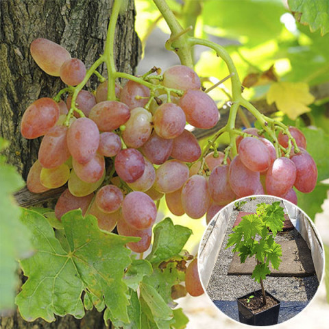 Виноград кишмиш  Променистий (контейнер 2л)