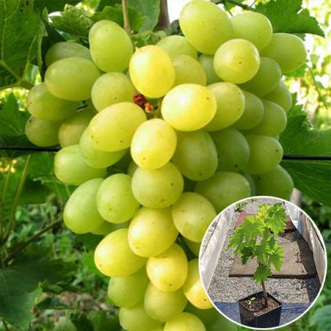 Виноград Новый Подарок Запорожью (контейнер 2 л)