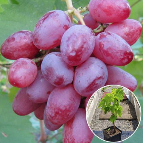 Виноград Рута (контейнер 2 л)