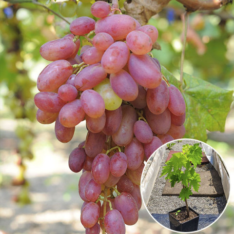 Виноград Віктор (контейнер 2 л)