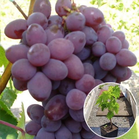 Виноград кишмиш Запорожский (контейнер 2 л)
