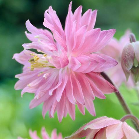 Аквилегия Pink Barlow