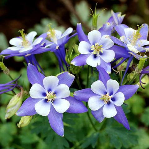Аквилегия Spring Magic Blue and White