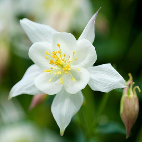 Аквилегия Spring Magic White