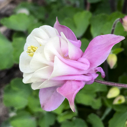 Аквилегия Winky Double Rose and White