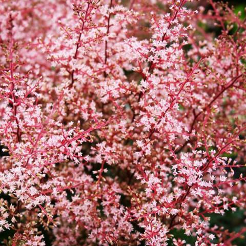 Астильба Inshriach Pink