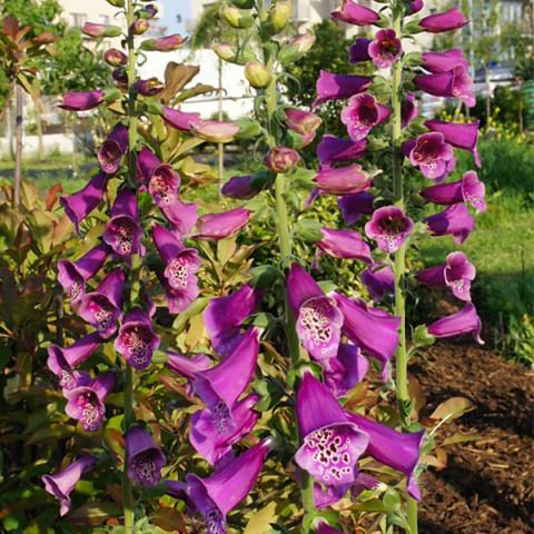 Дигиталис (Наперстянка) purpurea Virtuoso Rose