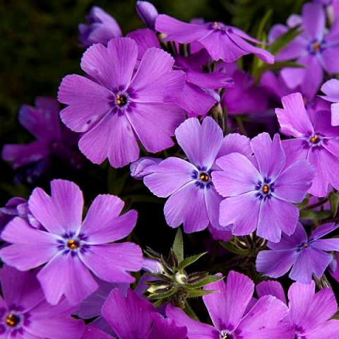 Флокс Early Spring Purple