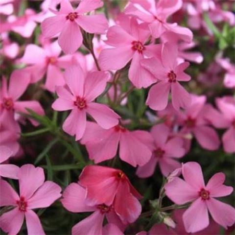 Флокс Early Spring Dark Pink