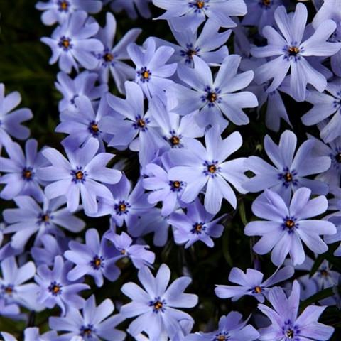 Флокс Early Spring Lavender