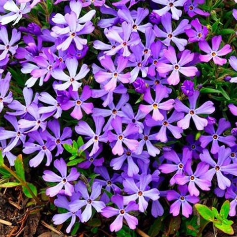 Флокс Fabulous Blue Violet