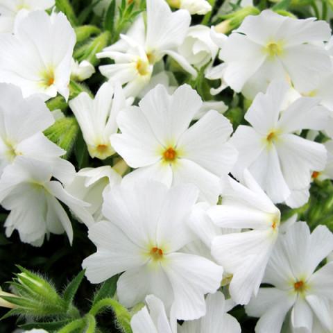 Флокс Fabulous White