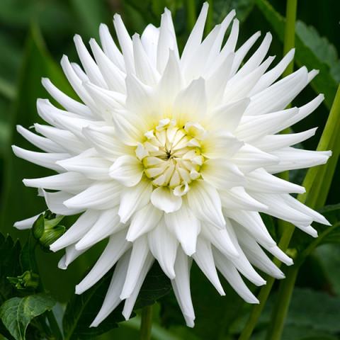 Георгина Кактусовая White Star