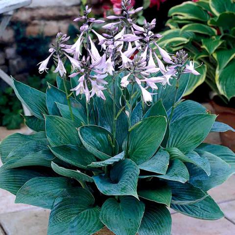 Хоста Fortunei Hyacinthina