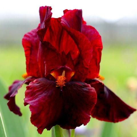 Ірис Germanica (Бородатий) Red Zinger