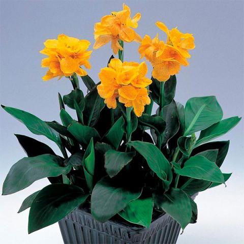 Канна Tropical Yellow (низкорослая)