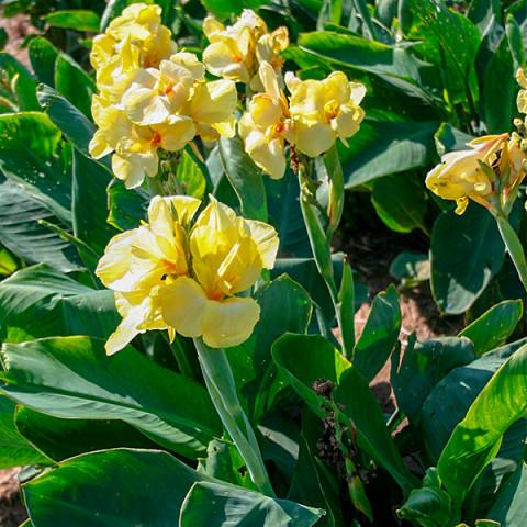 Канна Primrose Yellow