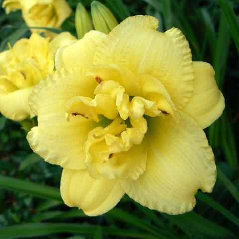 Лилейник Cabbage Flower