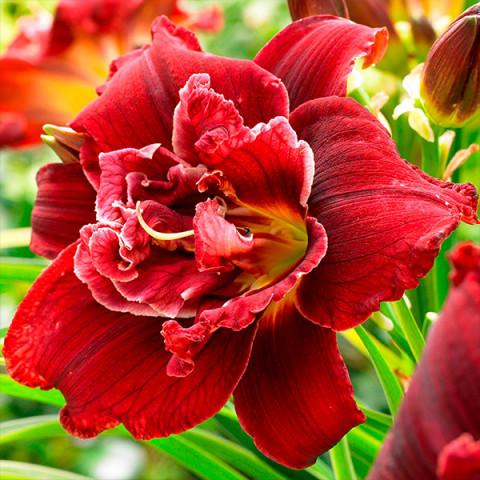 Лилейник Double Red Royal