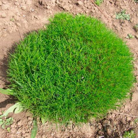 Сантоліна зелена