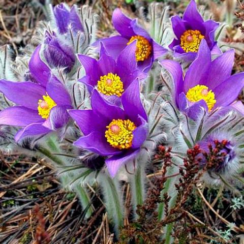 Сон-трава Purple