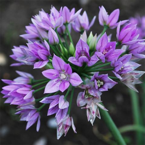 Алліум Unifolium Eros