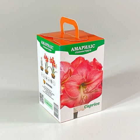 Гиппеаструм Caprice (подарочная упаковка)