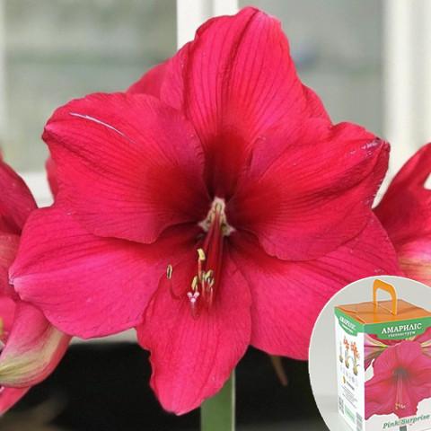 Гиппеаструм Pink Surprise (подарочная упаковка)