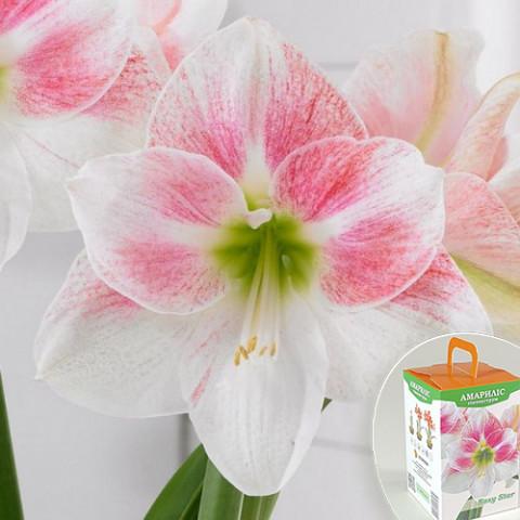 Гиппеаструм Rosy Star (подарочная упаковка)