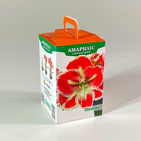 Гиппеаструм Samba (подарочная упаковка)