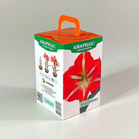 Гиппеаструм Stargazer (подарочная упаковка)