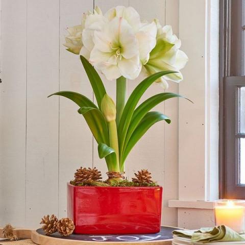 Гиппеаструм White Amadeus (подарочная упаковка)