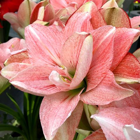 Гиппеаструм Pink Glory