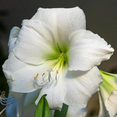 Гиппеаструм простой White