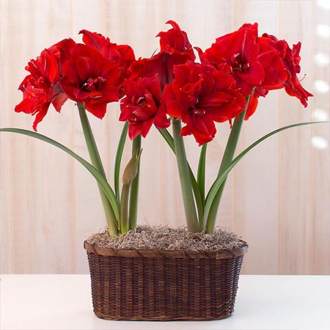 Гиппеаструм Red Torro