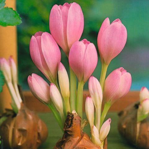 Колхикум Cilicicum purpureum