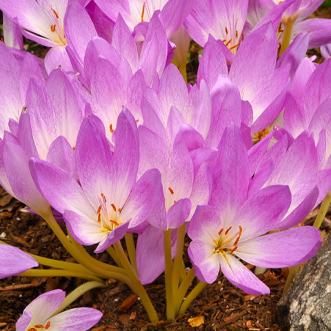 Колхикум Lilac Bedder