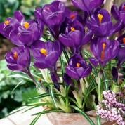 Крокуси Великоквіткові