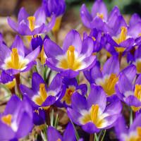 Крокус Ботанический Tricolor