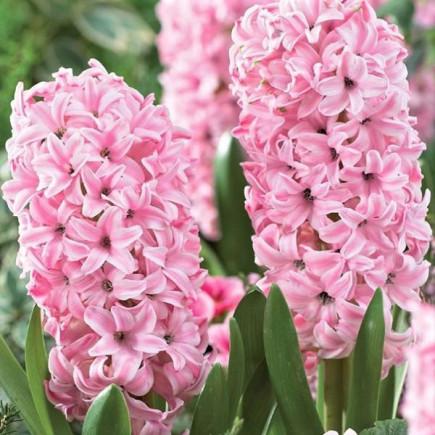 Гиацинт садовый Anna Marie