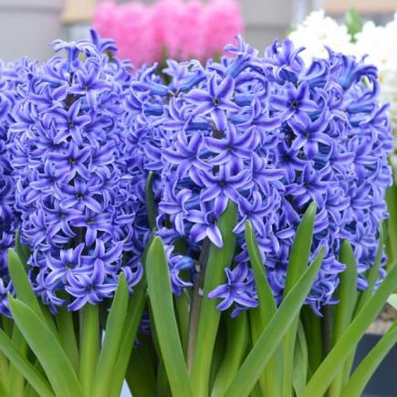 Гиацинт садовый Blue Jacket