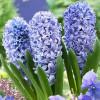 Гіацинт садовий Blue Giant