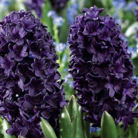 Гиацинт садовый Blue Saphire