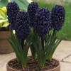 Гіацинт садовий Blue Saphire