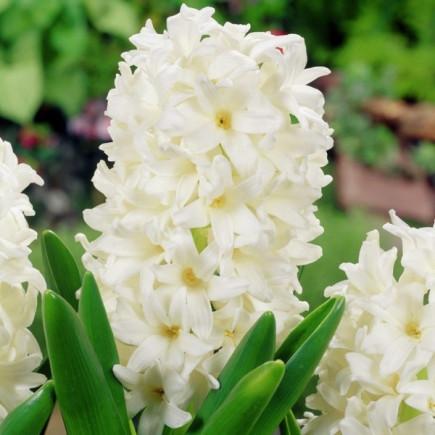 Гиацинт садовый Carnegie