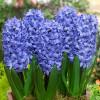 Гіацинт горщиковий Delft Blue