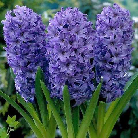 Гиацинт горшечный Delft Blue