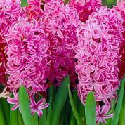 Гиацинты для высадки в открытый грунт (садовые)