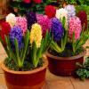 Гиацинт садовый смесь